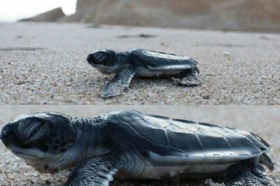 Ras Al Jinz Turtle Reserve24